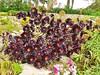 07.06.2017 - Batz, jardin Georges-Delaselle (36) (maryvalem) Tags: france bretagne finistère îledebatz alem lemétayer alainlemétayer