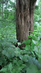 Summer Gardens (blackseal35) Tags: 2017 24105l canon canong7x ma rehoboth summer backyard barn daylily evening ferns garden gardens goats home hosta leaves plantings plants sedum sepervivum