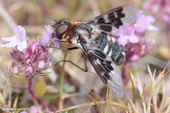 Mottled bee-fly thyme III (Dom Greves) Tags: dorset heathland insect invertebrate june mottledbeefly purbeck summer thyridanthraxfenestratus uk wildlife nectaring feeding behaviour