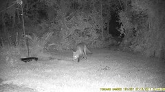 TrailCam360 (ohange2008) Tags: trailcam essexgarden fox badger dogfood peanuts july
