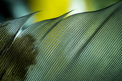 Texture of a Feather (Graham'M) Tags: macromondays texture macro feather closeup tabletop memberschoicetexture