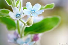 Macro Monday Texture (bluehazyjunem) Tags: bluestar hairy pentaxk70 tamron90 macromonday texture