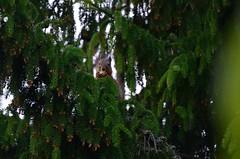 Õhtueine (anuwintschalek) Tags: nikond7000 d7k 18140vr eesti estland estonia tallinn nõmme pääsküla aed garden garten kuusk fichte orav eichhörnchen squirrel meal õhtueine käbi zapfen tannenzapfen tanne suvi sommer summer july 2017