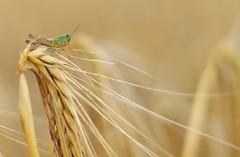 Neulich im Feld (DaLi-A) Tags: sachsen saxony feld field getreide grain gerste barley pentax k30 pentaxlife closeup makro grashüpfer grasshopper