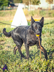 P7150994 (Songdog Studios) Tags: green dog neumond womensretreat 2017 k9 schutzhund ipo