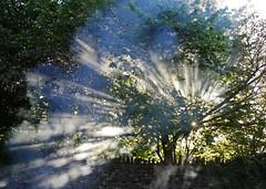 smoke rays (GI Les) Tags: smoke rays sun beams summer hedgerow filter fire mist