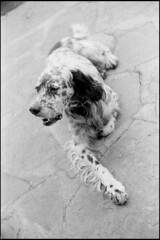 Old faithfull (Romain Massola) Tags: paysbasque paisvasco euskalherria euskadi chien dog puppy leica m6 canon 50mm canon50mmf14ltm ilford hp5 bw nb blackandwhite noiretblanc bwfp epson v700 epsonv700 rodinal