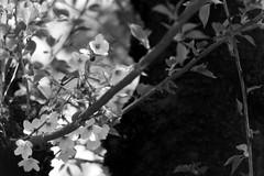 (lemonhats) Tags: asahipentaxsp spotmatic smctakumar35135 fomapancreative200 marumimcy2 1250 f56 classicslr vintagecamera 135mmf35 m42screwmount telephotoprimelens classiclens vintagelens yellowcontrastfilter iso200 白黒、blackandwhite 35mmprintfilm traditionalphotography analoguephotography filmphotography filmisnotdead filmisalive shootfilm believeinfilm filmcommunity filmforever fpper kodakd76 homedevelopment walking hikarigaokapark nerimaku tokyoto japan springtime cherryblossoms sakura