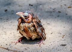Fallen from Nest - Baby Cardinal (backyardzoo) Tags: bird cardinal chick nest