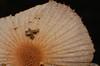 Mushroom changes Airlie Beach rainforest rotting log P1000499 (Steve & Alison1) Tags: pleated parasole inkcap mushroom galerella sp psathyrellaceae airlie beach rainforest