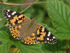 Painted Lady (ukstormchaser (A.k.a The Bug Whisperer)) Tags: painted lady butterflies fly flies basking animal animals wildlife july milton keynes meadow grass afternoon macro closeup