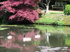 Four (cazjane97) Tags: sheffieldpark sussex acer lake geese 4