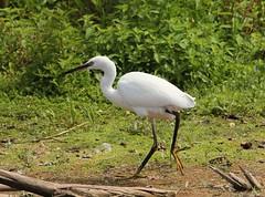 Little Egret (Bogger3.) Tags: littleegret venuspool walking sunnyday canon600d tamron150x600lens sunrays5 coth5