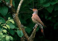 Stately Northern Flicker (SethReamsPDX) Tags: flicker northernflicker wildlife wildbirds birds birdwatching birding woodpecker sethreams nikon nikond3400 colaptesauratus