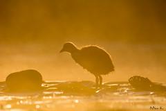 Łyska/Coot/Fulica #2 (mirosławkról) Tags: bird coot orange wild water poland pond 150600 sunrise