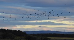A 'Desert' or 'Deceit' of Lapwings - Druridge Dawn (Gilli8888) Tags: druridge druridgeponds northumberland nature nikon p900 coolpix birds wetlands countryside lapwing flock birdsinflight panorama desert deceit landscape