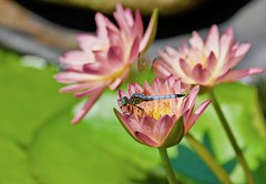 Nature's presents! (ineedathis, Everyday I get up, it's a great day!) Tags: lily nymphaea afterglowwaterlily waterplant watergarden pond tropical beauty exotic summer pink nature νουφαρο odonatoptera odonata anisoptera insect nikond750 νυμφαια λυβελλουλη pachydiplaxlongipennis bluedasher yellow green bokeh flower plant
