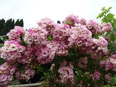 Roses at Ripley castle garden (Kniphofia) Tags: roses pergola ripleycastle