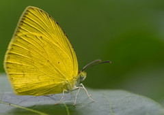 Common Grass Yellow (Eurema hecabe) (Nikondxfx (instagram)) Tags: delhi faridabad india mangar ncr nikkor nikon city fullframe wildlife butterfly butterflyofindia butterfliesofindia butterflies tamron90mm tamron90mmmacro tamron90mm28 tamronspaf90mmf28divcusdmacro tamron d750 nikond750 large grass yellow common eurema hecabe pierid species