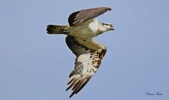 Osprey - Falco Pescatore (Pandion haliaetus) (Michele Fadda) Tags: canoneos70d sigma150600mmf563dgoshsm|contemporary015 sigma150600c sardinia sardegna italy falcopescatore pandionhaliaetus osprey free inliberta bird uccello rapace raptor nature natura avifauna faunaprotetta photoscape