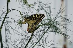 Graauw (Omroep Zeeland) Tags: vlinders