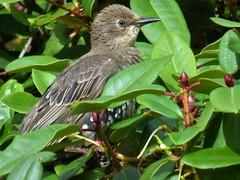 The Garden:  Juvenile starling on Mahonia Japonica (ronmcbride66) Tags: starlings mahonia mahoniajaponica juvenilestarling bird buds thegarden shrub bush coth5 sunrays5