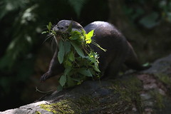 New bed for the little ones (carlo612001) Tags: otter animals nature lontra animali natura
