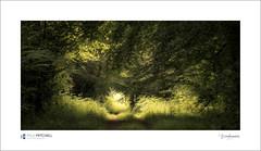 Dappled light (tobchasinglight) Tags: beechtrees englishwoodland marlborough oaktrees savernake savernakeforest summer wiltshire woodland â©paulmitchell