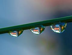 Three. (Omygodtom) Tags: macro bokeh raindrop waterdrops refraction reflections three 3 texture tamron digital tamron90mm nature nikkor natural nikon d7100 dof mondays macromondays