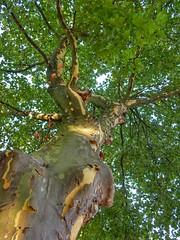 Plane tree (sander_sloots) Tags: plane tree bark patches boom platanus plataan straatboom bast vlekken stadhoudersweg blijdorp