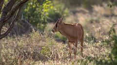 Tsavo West-8321 (ovg2012) Tags: kenia kenya tsavo tsavowestnationalpark