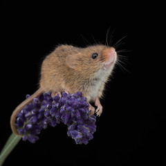 Lavender Mouse (susie2778) Tags: olympus omdem1mkii olympusm12100mmf40 captivelight captive bournemouth flash studio harvestmouse lavender