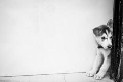 Pequeña curiosa! (Alyaz7) Tags: nikond7200 lentenikonnikkorafs1855mm13556giidxvr vr rawquality blancoynegro blackandwhite mascota pet perro dog huskysyberian cachorro puppy cute ternura curiosidad curiosity door puerta pequeño little espacionegativo minimalista