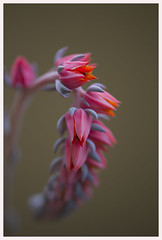 About to bloom...and waiting! (Karon Elliott Edleson) Tags: succulent buds blooms plant macro dof