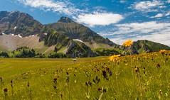 Fleurs de montagne... (J&S.) Tags: france hautesavoie montsaxonnex plateaudecénise cénise montagne fleur été nature campagne