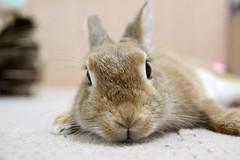 Ichigo san 795 (Ichigo Miyama) Tags: いちごさん。うさぎ ichigo san rabbitbunny netherlanddwarf brown ネザーランドドワーフ ペット いちご うさぎ rabbit