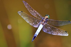 Dragonfly in Flight (stellagrimsdale) Tags: dragon fly flight inflight smimmer wings bokeh insect insects transparent greeneyes flying