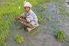 Harvesting rice in Aileu Rice 26-09-08-1 (undptimorleste) Tags: aileu farmer farmers field harvest rice ricefields timorleste