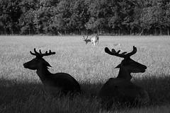 I watch your back (Gorky1985) Tags: wien vienna animals austria black white schwarz weiss nature zoo lainzer tiergarten deer landscape landschaft bw nikon nikkor d5300 goran cosic