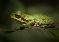 1707_6862 (Jim Craig Photo) Tags: amphibians britishcolumbia canada nanoosebay pacifictreefrog vancouverisland naturephotography wildlifephotography frog macro amphibian animal