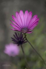 Three in pink (ChrisKirbyCapturePhotography) Tags: osteospermum pink flower pinkflower spring springflowering mediterraneanplants mediterraneanclimate threes mentongardenrivierafrance