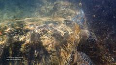 綠蠵龜 (阿Len) Tags: 綠蠵龜 保育動物 綠海龜 greenseaturtle cheloniamydas olympus tg3 小琉球 浮潛 littleliuqiu 陽光浮潛 underwater snorkeling