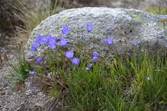 """Plan de l'Aiguille"" ""Mont Blanc Massif"" Mountain Flowers Chamonix France Rainard (Lynn Rainard) Tags: plandelaiguille montblancmassif flowers mountains chamonix france rainard"