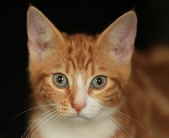 ANGUS (merseymouse) Tags: felines cats pets
