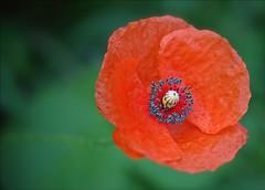 Early Morning Bloom (Sue90ca More Rain On The Way..Poor Farmers) Tags: canon 6d wildflower poppy red