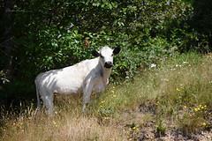 30:52 Dear Cow (Claudia Künkel) Tags: oregon cow maybebritishwhite white blackpoints freeranging coast