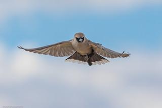 Black-faced Woodswallow · Artamus cinereus