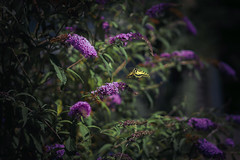 life is beautiful (_andrea-) Tags: schwalbenschwanz swallowtail insekten papiliomachaon butterfly buddleja schmetterling sonyalpha7mii sonyzeiss zeissplanar 50mm love nature im flug light
