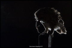 Tawny Owl (Thomas Winstone) Tags: henllys wales unitedkingdom gb tawnyowl tallons owl night flash photo nightowl wwwfacebookcomihwildlfe ianhowellsowlhide hide tripod silhouette rimlight backlit backlight birds canonuk canon 300mm28mk2 aves uk bird outdoors wildlife nature wildbirds countryside outdoor avian 3lt 3leggedthing thomaswinstonephotography birdperfect birdwatcher birdofprey birding