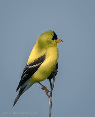 American Goldfinch (Kevin James54) Tags: americangoldfinch carduelistristis kevingiannini lakegalena nikond500 peacevalleypark tamron150600mm animals avian bird buckscounty finch kevingianniniphotocom